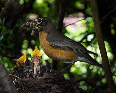 Feeds Chicks Photograph - Supper Time by Chris Bordeleau