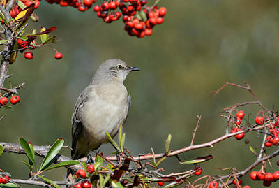 Mockingbird Photograph - Surrounded By Berries 2 by Fraida Gutovich