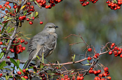 Mockingbird Photograph - Surrounded By Berries by Fraida Gutovich