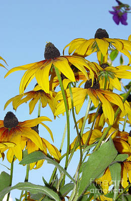 Flower Photograph - Susans To The Sky by Heather Kirk