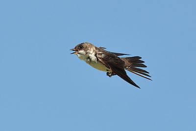 Swallow In Flight 3 Original by Alan Lenk