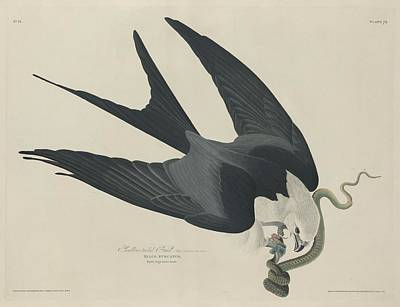 Swallow Drawing - Swallow Tailed Hawk by John James Audubon