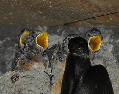 Swallow Photograph - Swallows Opera  by Ernie Echols
