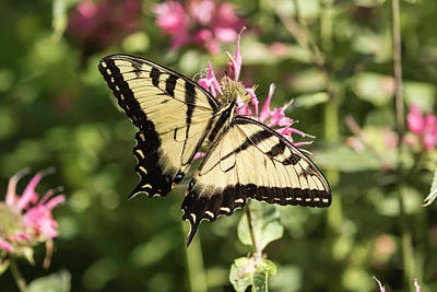 Photograph - Swallowtail Butterfly 2016-1 by Thomas Young
