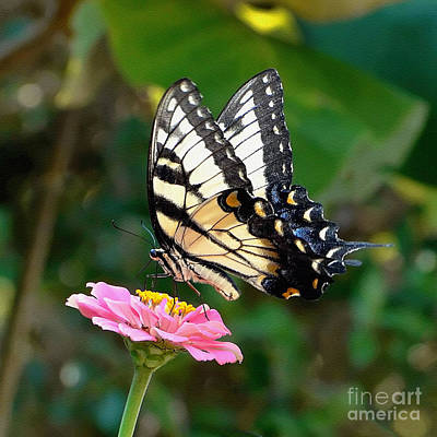 Swallowtail Butterfly 3 Print by Sue Melvin