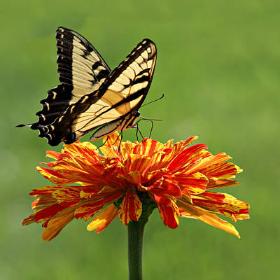 Two Tailed Photograph - Swallowtail Butterfly - Zinnia by Nikolyn McDonald