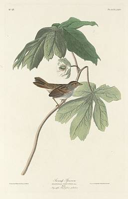 Sparrow Drawing - Swamp Sparrow by John James Audubon