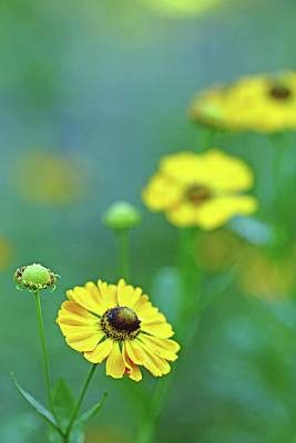 Swamp Sunflower Print by Debbie Oppermann