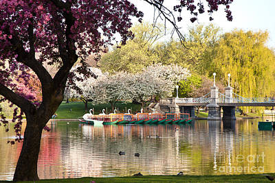 Swan Boats With Apple Blossoms Print by Susan Cole Kelly
