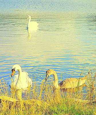 The Happy Swan Family Is Floating Into Your Heart     Print by Hilde Widerberg