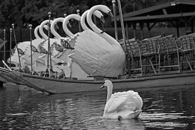 Swan Meeting Up With Some Friends Black And White Print by Toby McGuire