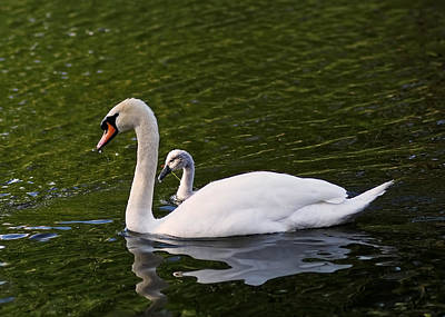 Swan Mother With Cygnet Print by Rona Black