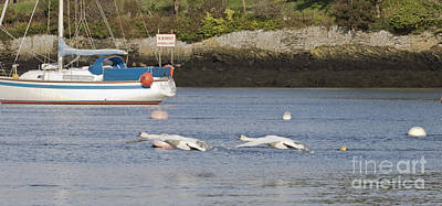Swans Flying Over Carrick Roads Print by Terri Waters