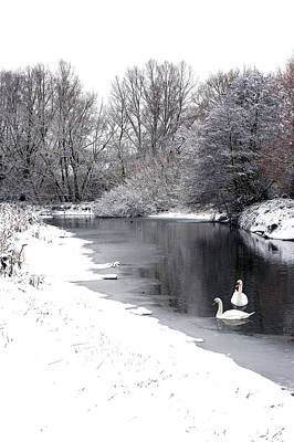 Swans In The Snow Print by Gary Eason
