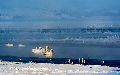 Swans On The Lake Print by TL Mair