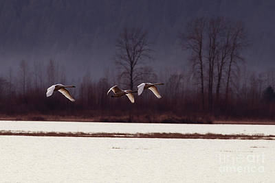 Swans Over The Marsh Print by Sharon Talson