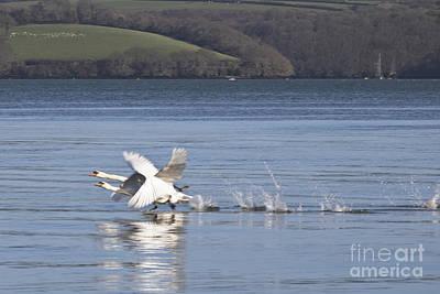 Swans Running On Water Print by Terri Waters
