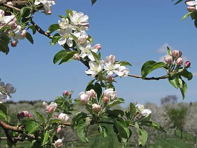 Michigan Farmhouse Photograph - Apple Blossoms  Pentwater Michigan by Jane Greiner