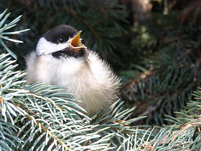 Baby Bird Photograph - Sweet Chickadee by Angie Rea