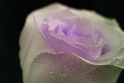 Lavender Photograph - Sweet Gesture by The Art Of Marilyn Ridoutt-Greene