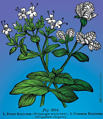 Root Of Mixed Media - Sweet Marjoram by Eric Edelman