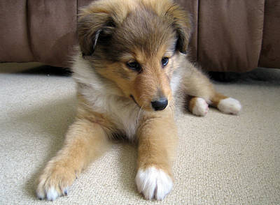 Miniature Collie Photograph - Sweet Puppy by Sheltie Planet