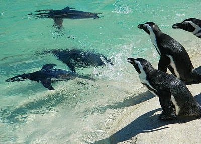 Penquins Photograph - Swim Race - African Penquins by Emmy Marie Vickers