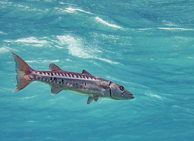 Swimming Barracuda Print by Jean Noren