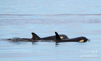 Orca Photograph - Swimming Close by Mike Dawson