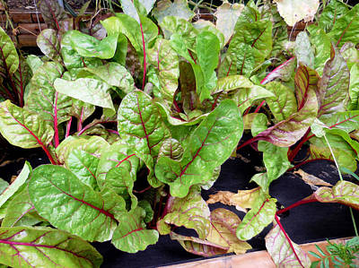 Spinach Painting - Swiss Chard In A Vegetable Garden 1 by Lanjee Chee