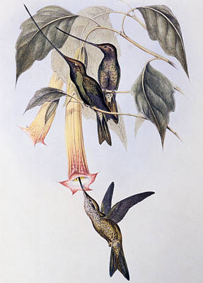 Leaf Drawing - Sword-billed Humming Bird  by John Gould