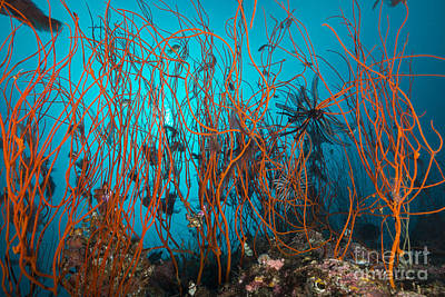 Tangle Of Wiry Red Corals With Black Print by Mathieu Meur