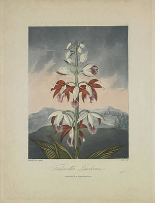 Orchids Drawing - Tankerville's Limodorum by Robert John Thornton
