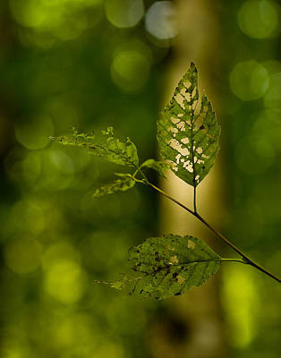 Tattered Photograph - Tattered Leaves by Mike Reid