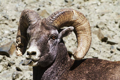 Ram Horn Photograph - Taunting Bighorn by Mark Kiver