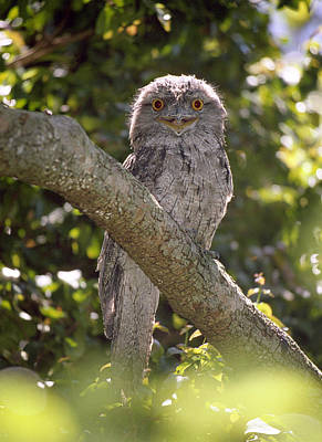 Tawny Frogmouth Print by Barry Culling