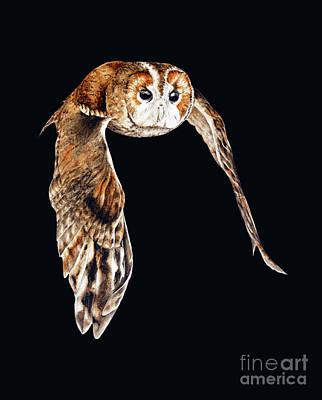 Owl In Flight Painting - Tawny Owl In Flight by Marie Burke