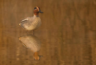Birding Photograph - Teal  by Paul Neville