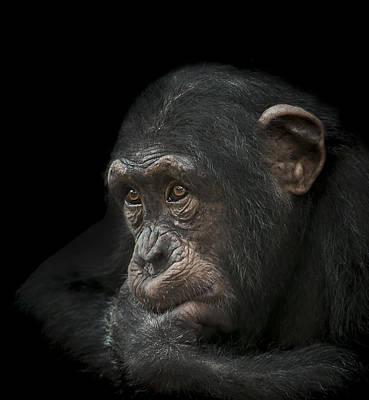 Chimpanzee Photograph - Tedium by Paul Neville
