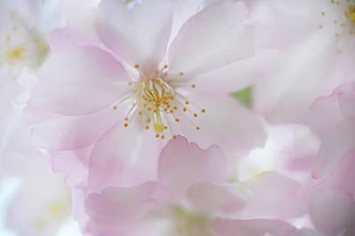 Photograph - Tender Bloom Of Sakura by Jenny Rainbow