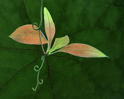 Light And Dark Photograph - Tendril - Leaves by Nikolyn McDonald