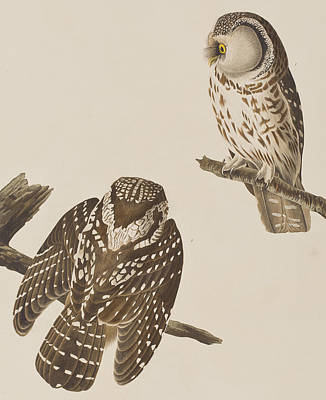 Owl Drawing - Tengmalm's Owl by John James Audubon