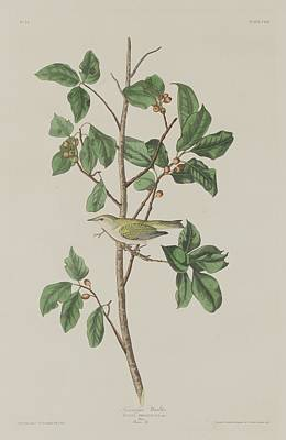 Tennessee Drawing - Tennessee Warbler by John James Audubon