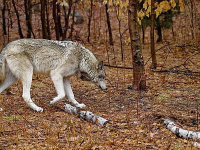 Black. Timber Wolf Photograph - Territorial by Jim DeLillo