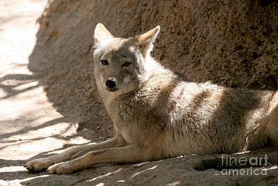 Texas Coyote Print by Jeannie Burleson