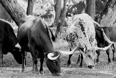 Texas Longhorn Steer In Black And White Print by Alan Look