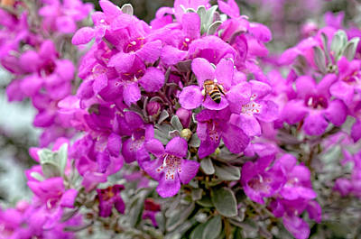 Bug Photograph - Texas Sage by Erich Grant