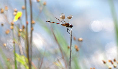 Nature Photograph - Texas Widow Skimmer - 8 by Roy Williams
