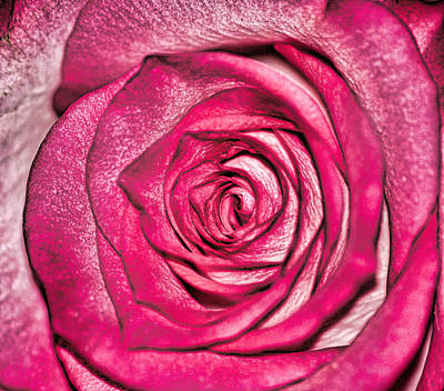 Texture Of A Rose Print by Martin Newman