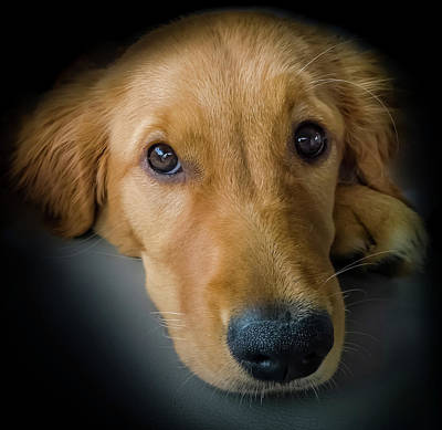 Golden Retriever Puppy Photograph - Thanks For Picking Me by Karen Wiles